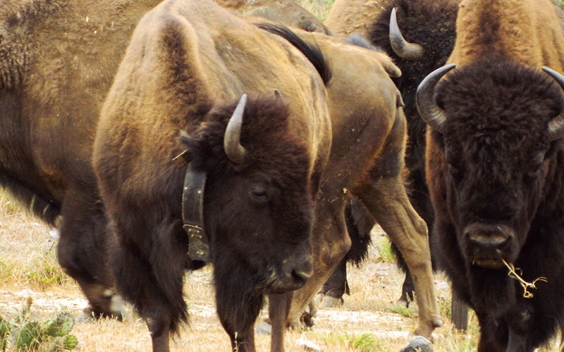 Bison with GPS collar