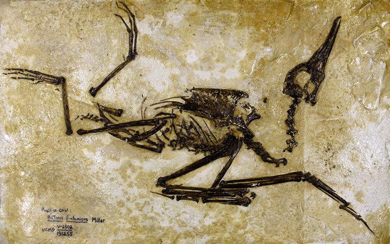 Fossil Seabird