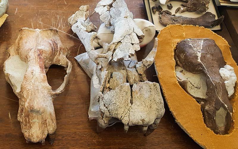 Fossilized Odobenus Skulls