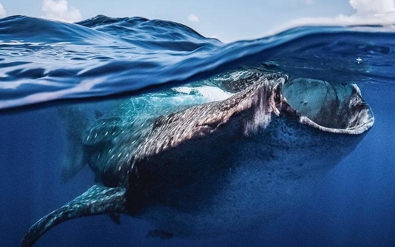 Whale Shark in ocean feeding