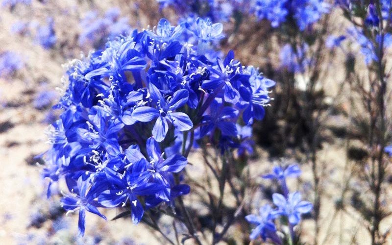 Bright blue Woolly Star Plant
