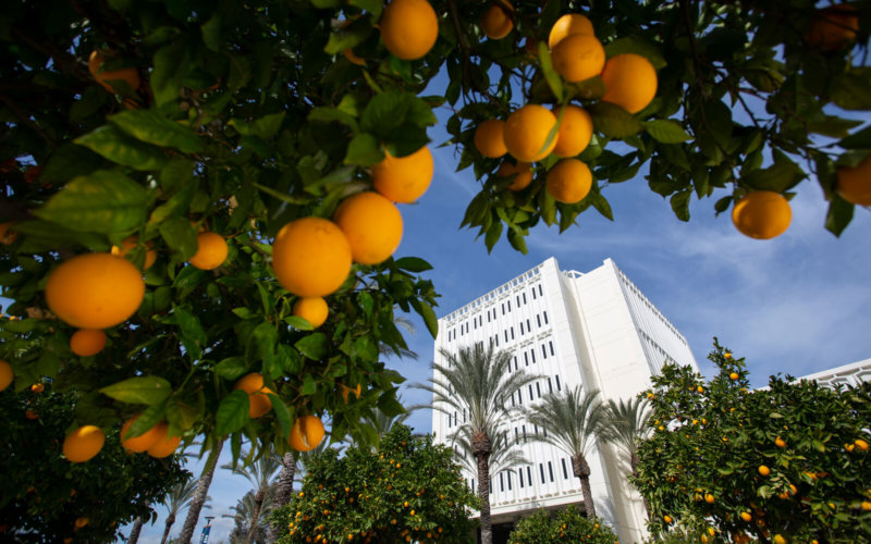 Langsdorf Hall viewed from orange groves