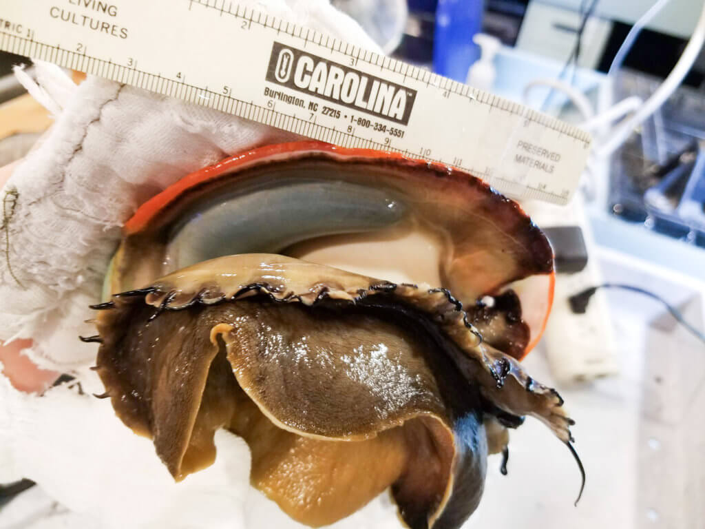 Sizing the gonad of a female red abalone before placing her in a chemical laced sea water bath that will later induce her to release her eggs in