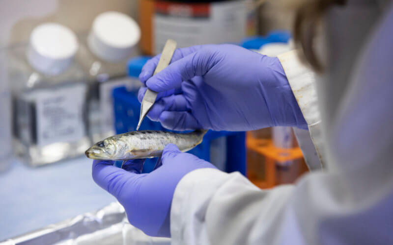 Chelsea Bowers works on Microplastic Research by cutting open a sardine